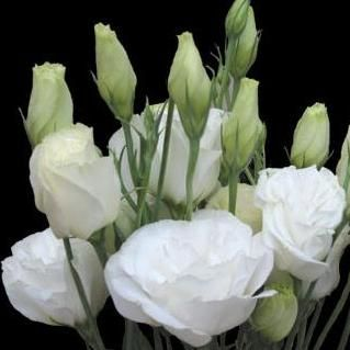 10 Lisianthus White Seeds Eustoma Grandiflorum Sow All Year Annual Bidorbuy Co Za Lisianthus Flowers White Wedding Flowers Centerpieces Peonies And Hydrangeas