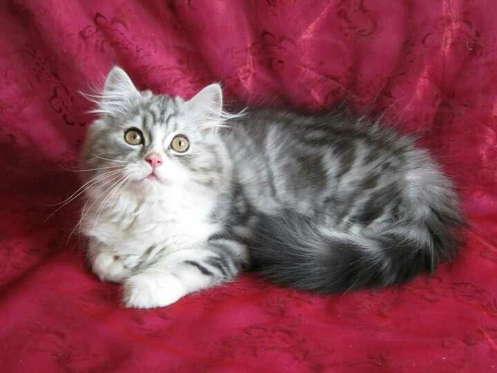 Silver Tabby And White Highland Fold Straight Eared Cat Scottish Fold White Cats Tortoiseshell Tabby