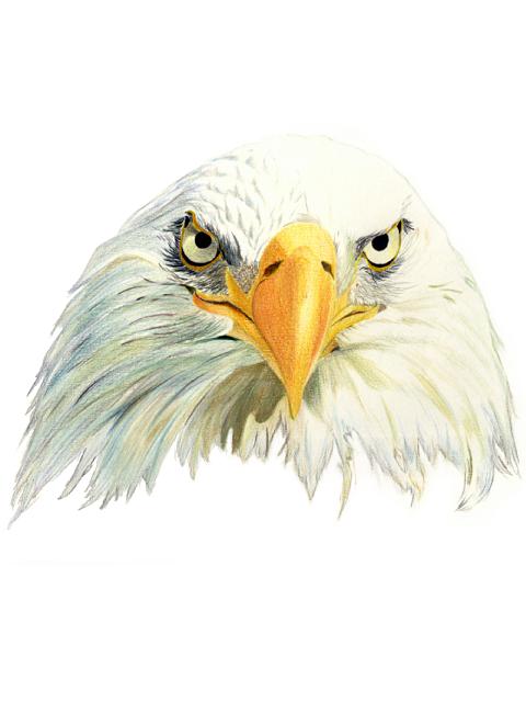 Águila americana   Ilustración   Pinterest   De todo y Ilustraciones