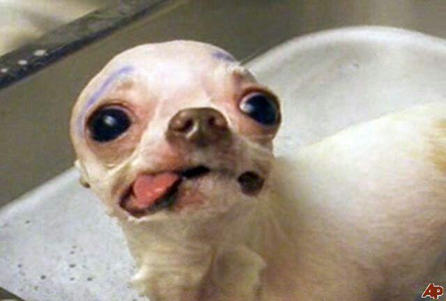 Lol Poor Dog Chihuahua Eyebrows Funny Animals Animals Chihuahua