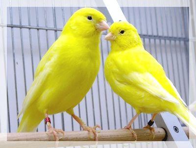 Deux Canaris Ensemble Canary Birds Birds Pet Birds Parrots