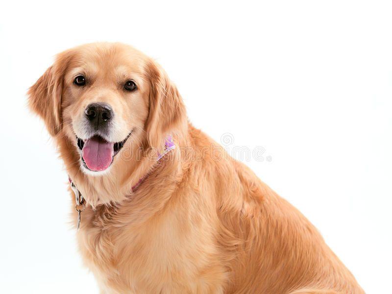 Happy Golden Retriever A Happy Dog On A White Background Sponsored Retriever Golden Happy Happy Background Golden Retriever Retriever Happy Dogs