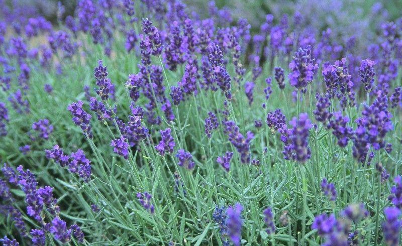 Lavender Healing Garden Homemade All Purpose Cleaner Lavender Plant
