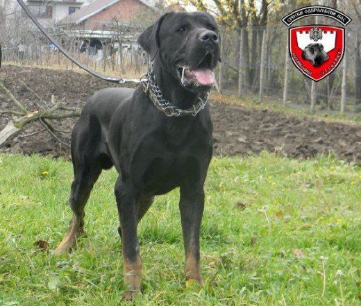 The Serbian Defense Dog Aka The Serbian Defence Dog Socializing