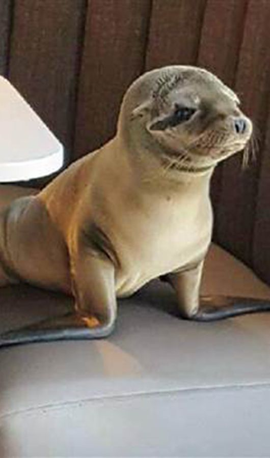 Seat Yourself Sea Lion Found Hanging Out At Upscale San Diego Restaurant Cute Baby Animals Baby Animals Animals