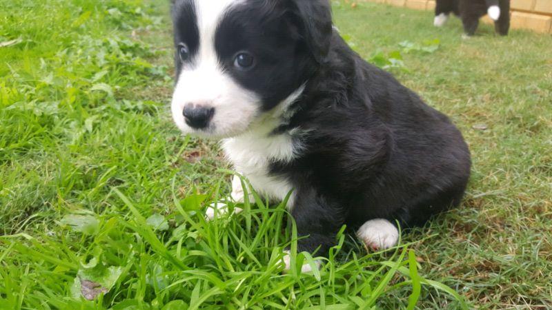 Border Collie Puppy Dogs Puppies Gumtree Australia Armadale