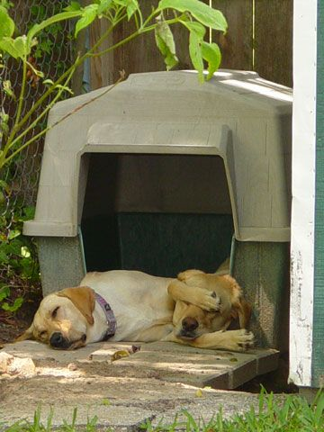 Lula And Maggie Yellow Labrador Retrievers From Tyler Texas