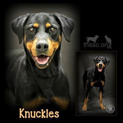 Rotterman Dog For Adoption In Sullivan In Adn 483178 On