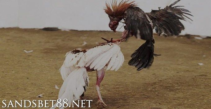 Pemahaman Teknik Teknik Tarung Ayam Bangkok - Game birds ...