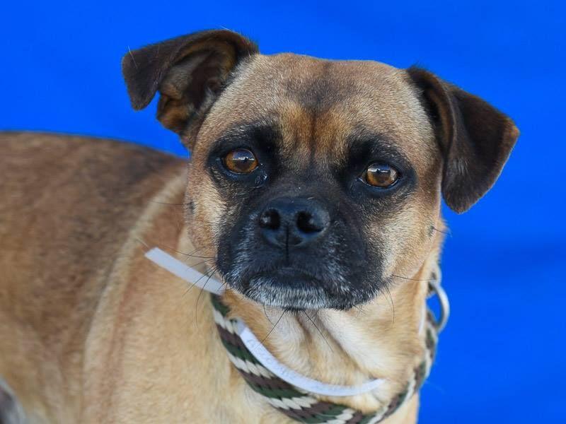 Puggle Dog For Adoption In Pasadena Ca Adn 479823 On Puppyfinder