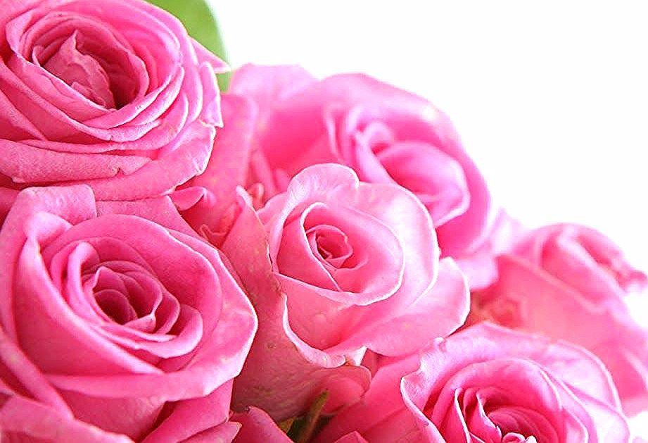 Baru 30 Download Wallpaper Bunga Mawar Merah Download Foto Bunga Mawar Pink Wallpaper Firepubg Download Download Wallpaper Bunga Ros H In 2020 Rose Flowers Plants