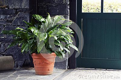 Spathiphyllum Download From Over 48 Million High Quality Stock Photos Images Vectors Sign Up For Free Today Image 7 Spathiphyllum Plants Tropical Plants