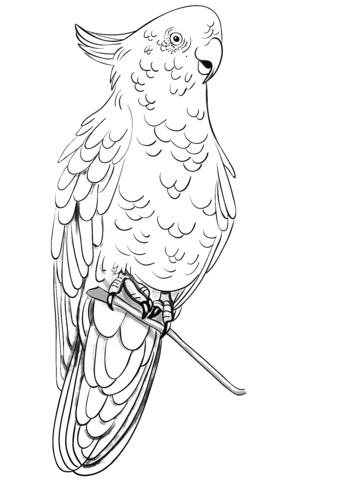 Rose Breasted Cockatoo Coloring Page Bird Drawings Coloring Pages Australian Native Birds