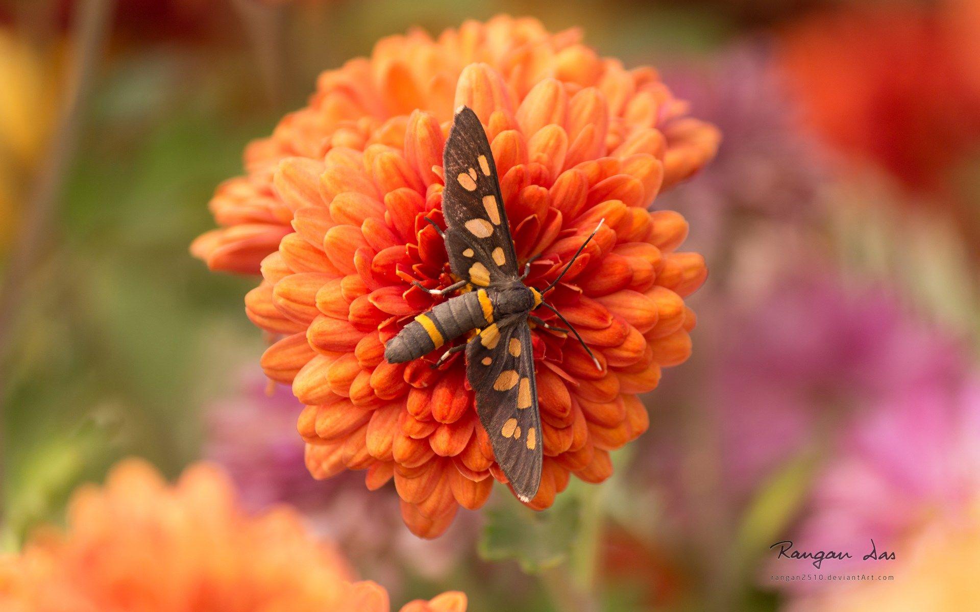 Skipper Fairy insect pic desktop nexus wallpaper