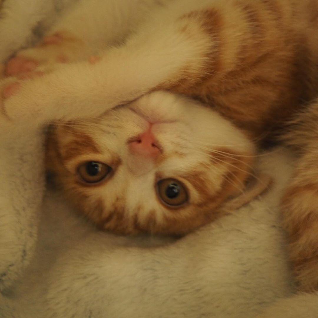 Instagram Post Added By Hwc Nya カフェの猫ちゃんのご紹介です 荒川沿いで保護された 2ヶ月くらいの茶白の子猫 元気にすくすく育っております 遊ぶの大好き 人懐っこくてとても可愛いですよ カフェに会いに来てくださいね 里親募集中です 子猫
