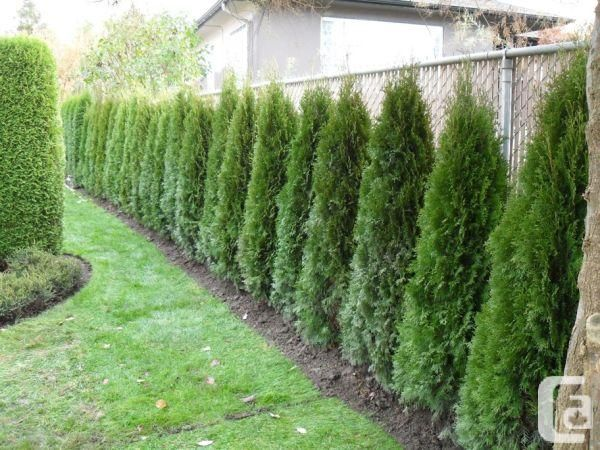 emerald cedar hedging trees  bc u0026 39 s  1 privacy cedar   vancouver to chilliwack