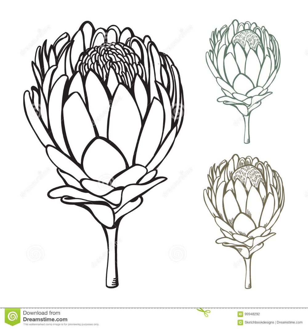 Hand Drawn Protea Vector Illustration in 2020