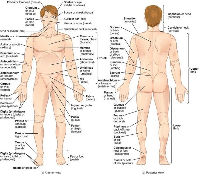 Human Anatomy Charts Free Regions Of Body Anatomical Terminology Wikipedia The