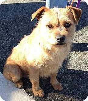 Henderson, NV - Border Terrier. Meet Bungee a Dog for Adoption.