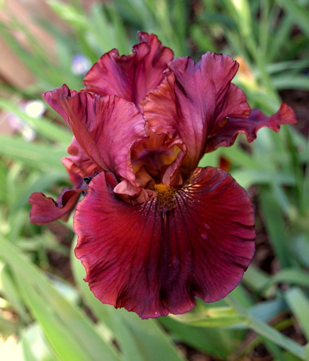 Raptor Red Iris My Fun Stuff Pinterest Iris Flowers And Gardens