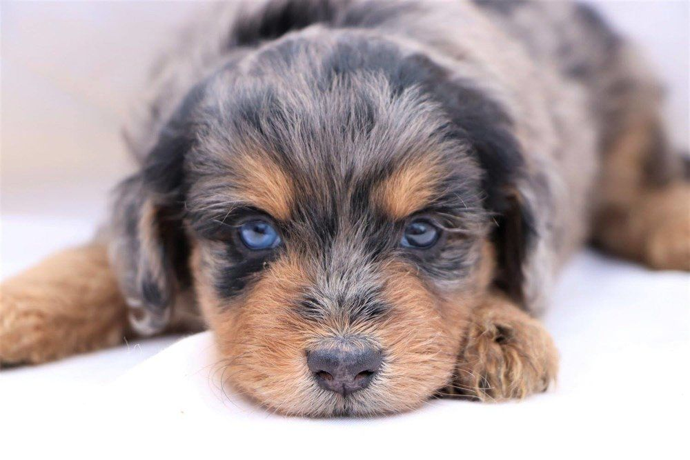 Aussiedoodle puppies characteristics pictures