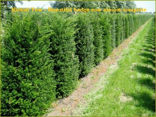 Hicksii Upright Yew Taxus Baccata Hedging Plants Yew Shrub
