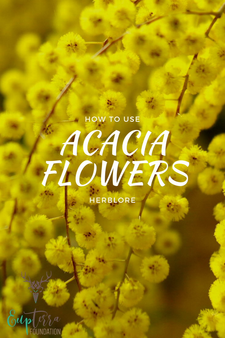 How To Use Acacia Flowers Acacia Nilotica Herbal Infusion And Lore Eupterra Foundation Herbalism Herbal Infusion Natural Wellness