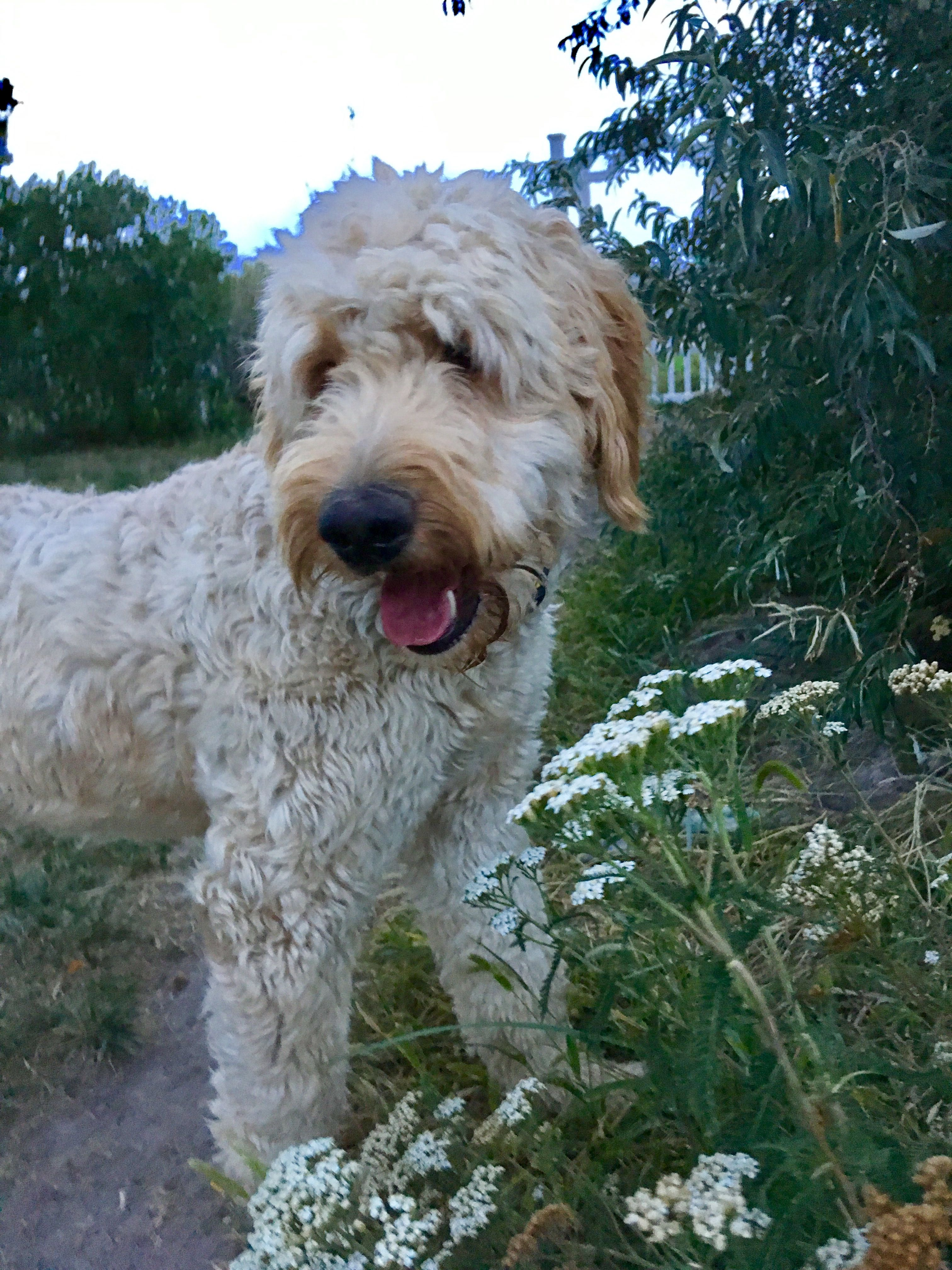 Pin by Claire lee on Lou the Giant Doodle   Dogs, Animals ...