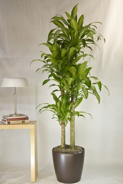 Corn Plant Great For Low Indoor Light Must Get 12 Hrs Of Artificial Light But Doesn 39 T Have To