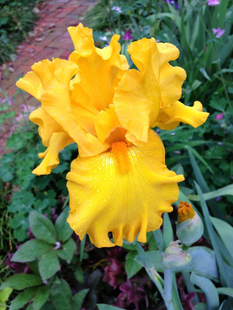 Tall Bearded Iris HERE COMES THE SUN yellow gold perennial plant rhizome #Perennial
