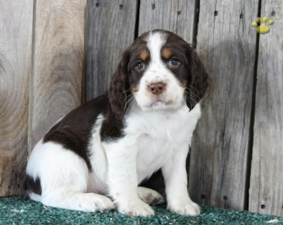 English Springer Spaniel Puppies For Sale Spaniel Puppies For