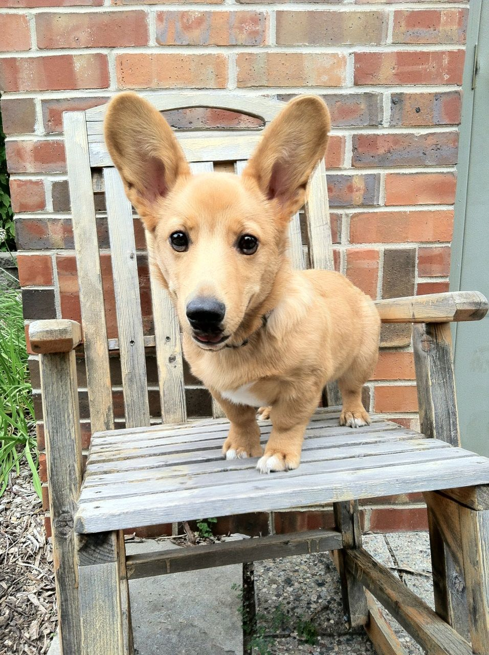 This Guy Is A Corgador Corgi Lab Mix And His Name Is Moose I M