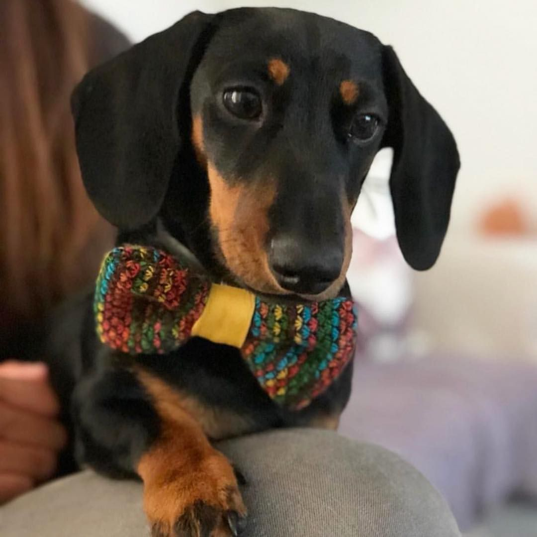 Gorgeous Hugo In His New Hippie Bow Tie From The