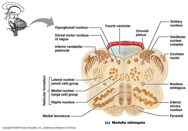Reticular Formation Neuro Pinterest Reticular formation