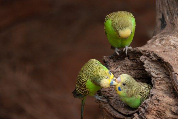 البادجي او ببغاء الدرة الاسترالية كل ماتود معرفته حول هذا الطائر طيور العرب Budgies Parrot Animals