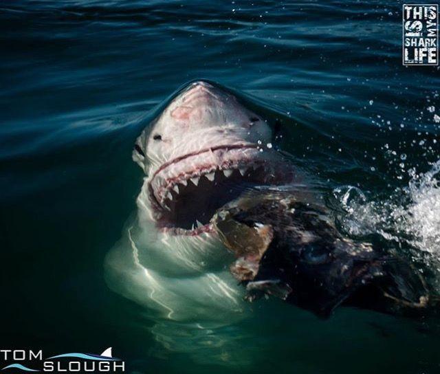 White Shark Breaking Surface Tom Slough Photography Shark Photos Sharks Scary White Sharks