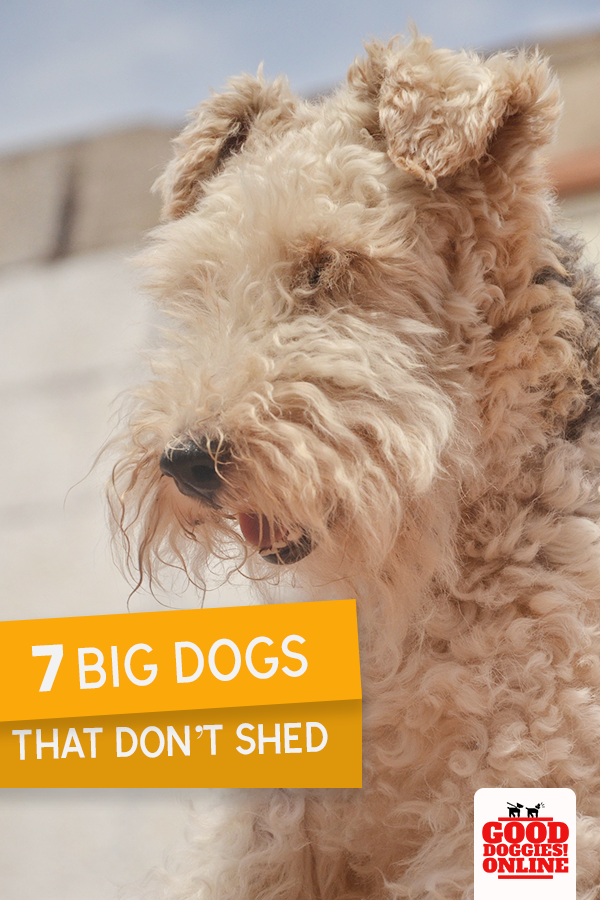 Large Dog Breeds That Don T Shed 7 Non Shedding Dogs Good Doggies Online Big Dogs Dog Breeds That Dont Shed Good Doggies Online