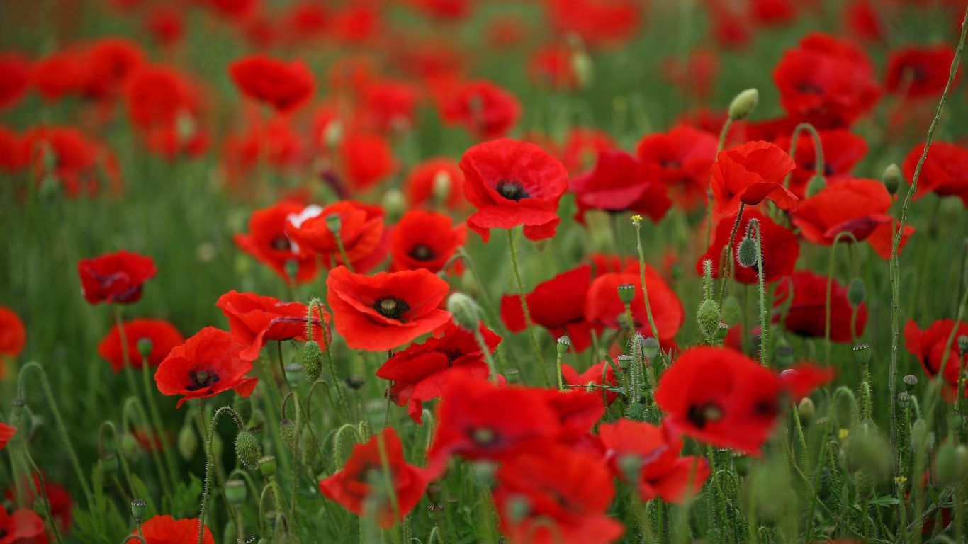 Flower Poppy Poppies Nature Flowers Field Splendor Flower Desktop