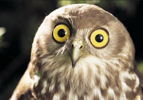 تفسير رؤية البومة في المنام او الحلم للنابلسي البوم الملون في المنام البومة في المنام تفسير حلم البومة Owl Pictures Owl Owl Photography