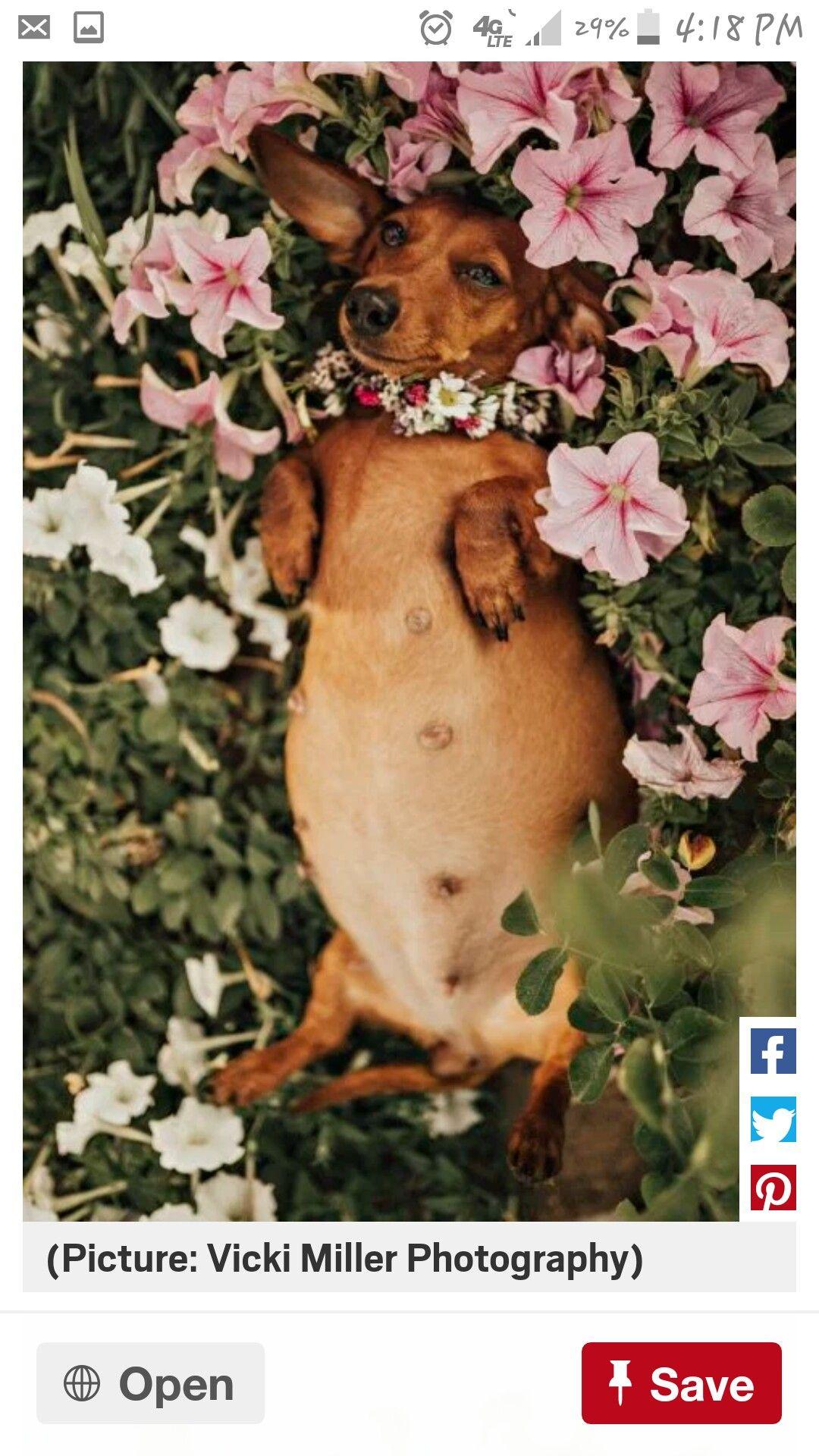 Doxie Maternity Shoot Hahaha Pregnant Dog Dachshund Love