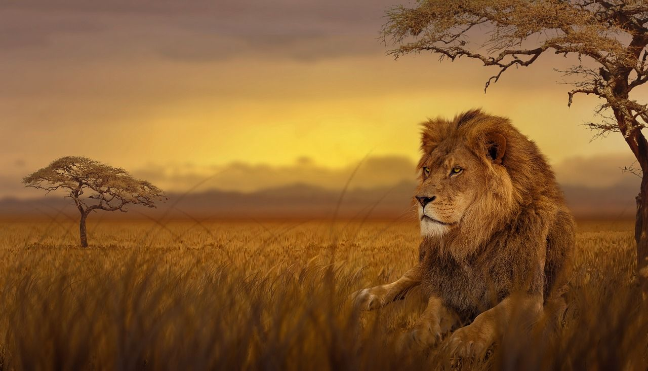 Animals Lion Savannah Nature Wallpapers Hd 4k Background For Android Lions Photos Lion Pictures Lion Wallpaper