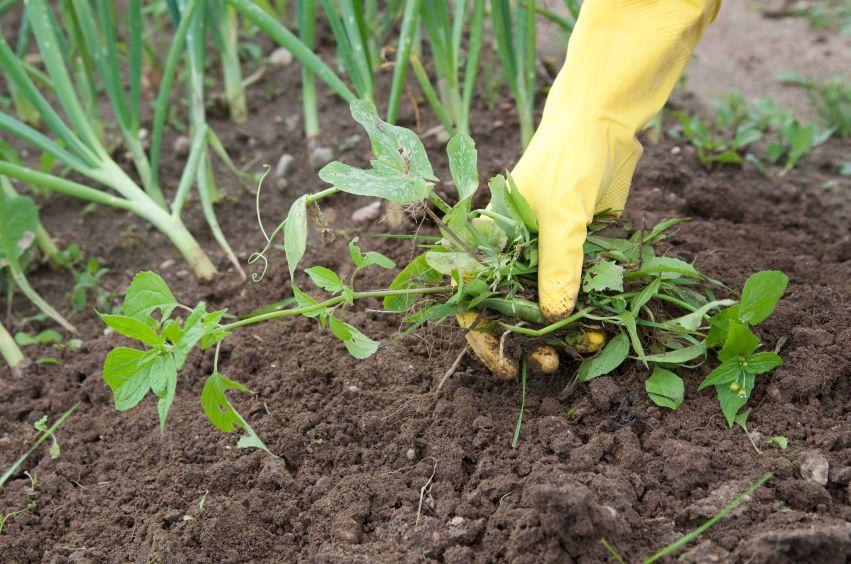 11 Best Ways To Get Rid Of Garden Weeds Organically