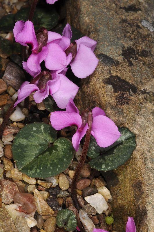 Cyclamen Alpinum Photo Purple Flowers Inside Plants Planting Flowers