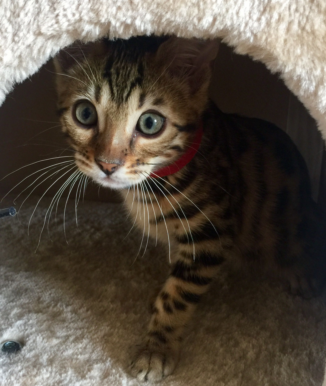 Bengal | Oculus Bengal Cat Kitten Breeder Poland Bengalcat kot ...