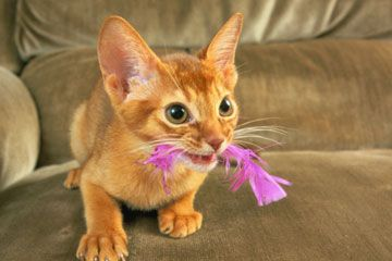Home Remedies For Cats With Ear Mites Abyssinian Kittens Cute
