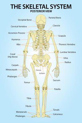 Skeletal system posterior view anatomy print poster art studio skeletal system posterior view anatomy print poster ccuart Image collections