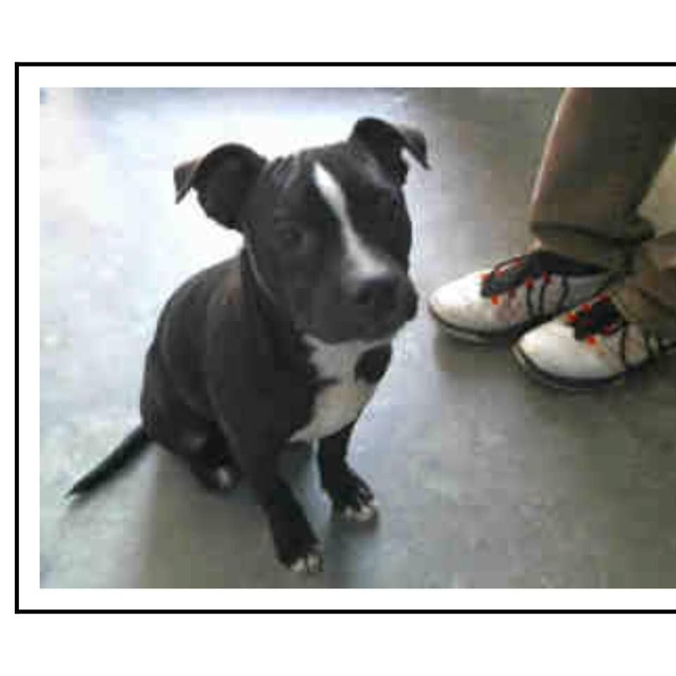 American Boston Bull Terrier dog for Adoption in Maple Grove, MN. ADN-444238 on PuppyFinder.com Gender: Male. Age: Baby