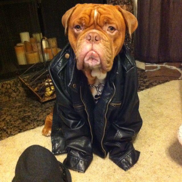 Tuff Guy Bordeaux Dog French Mastiff Mastiffs