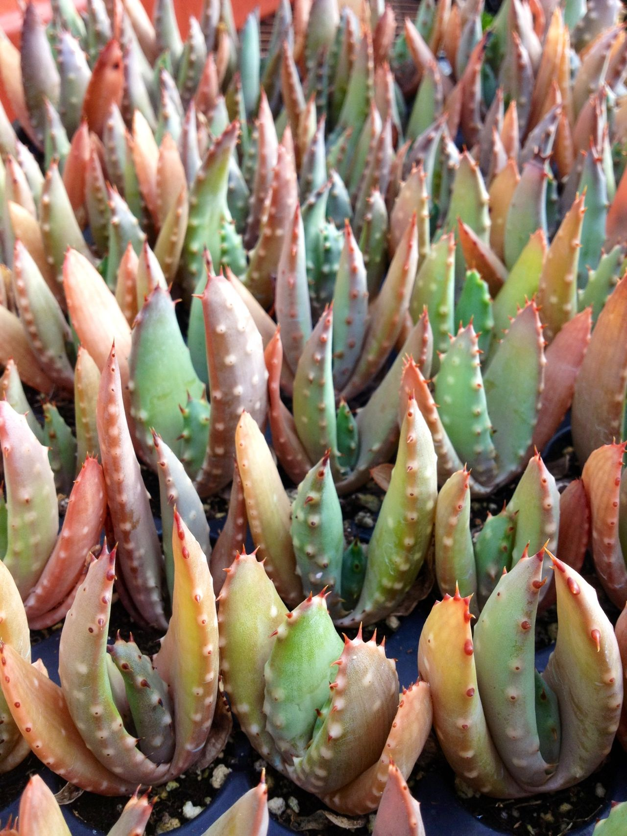 how to transplant succulents babies