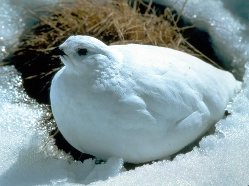 White Tailed Ptarmigan Its Common Name Often Trips Up The Tongue The P Is Silent Its Scientific Name Lag Arctic Animals Unique Animals Beautiful Birds